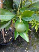 Pomerančovníky - Citrus sinensis - Stránka 3 2014_08_05_19_31_09