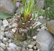 Mrazuodolné juky - rod Yucca - Stránka 2 IMG_2038