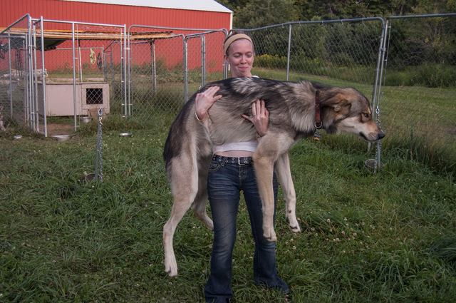 Alaskan noble companion dog 10575373_10154420104690697_5812788273505162143_o