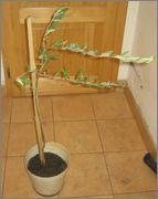 Olea europaea - olivovník evropský IMG_2622