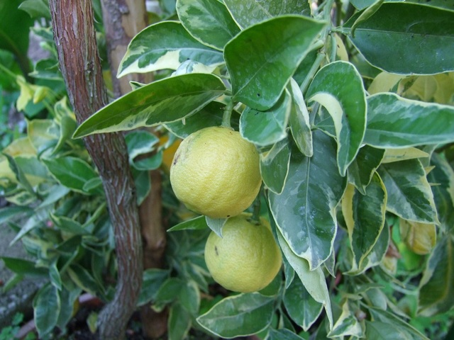 Pomerančovníky - Citrus sinensis - Stránka 3 DSCF3030