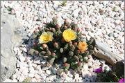 mrazuodolné opuncie - rod Opuntia - Stránka 3 IMG_7350