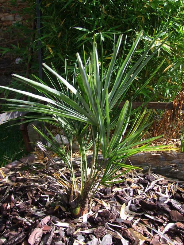 Trachycarpus ukhrulensis/oreophilus (sp. Manipur) DSCF2885