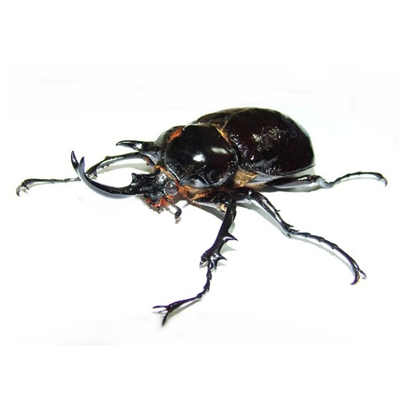 New Dispo : Coléoptères et Arthropodes 2853_thickbox_default