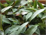 Určení druhu rostliny P4040104