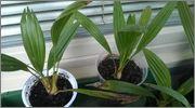 Variety Trachycarpusu fortunei WP_20140604_016
