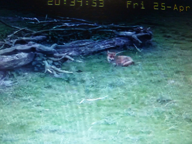 Fox Cam in the Netherlands 2014_04_25_vossen_003