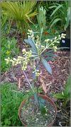 Olea europaea - olivovník evropský WP_20140604_005