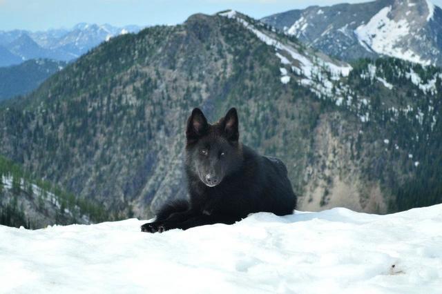 Alaskan noble companion dog Unnamed_2
