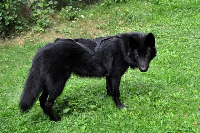 Alaskan noble companion dog Unnamed_1