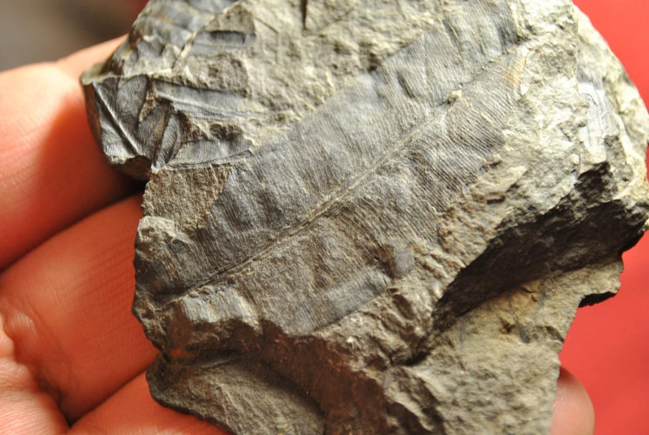 Taeniopteris Brongniart, 1832. DSC_4617