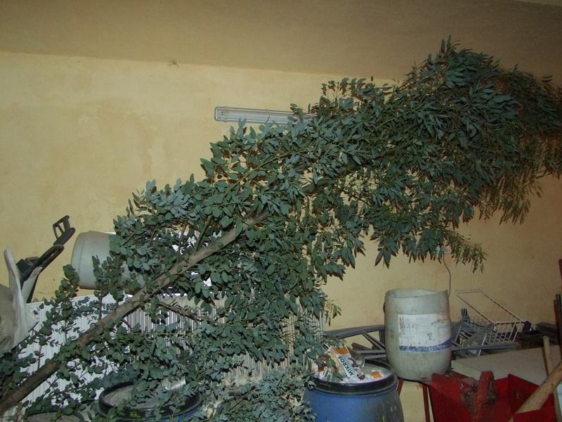 Eucalyptus DSCF3380