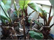 Ensete ventricosum (vč. maurellii) Banany