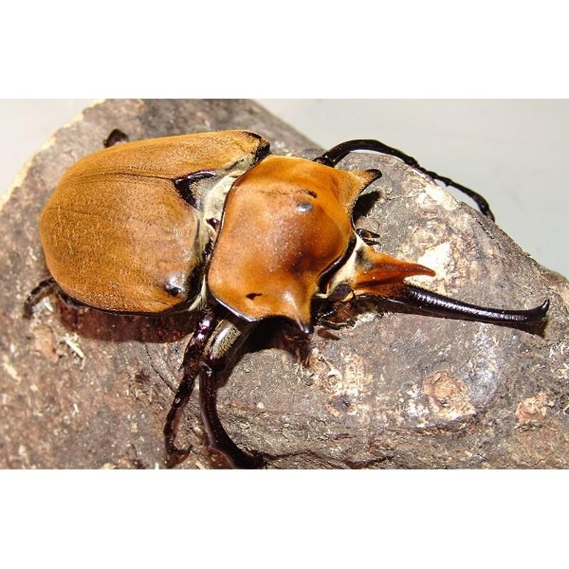 New Dispo : Coléoptères et Arthropodes 2854_thickbox_default