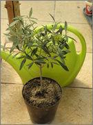 Olea europaea - olivovník evropský P4210028