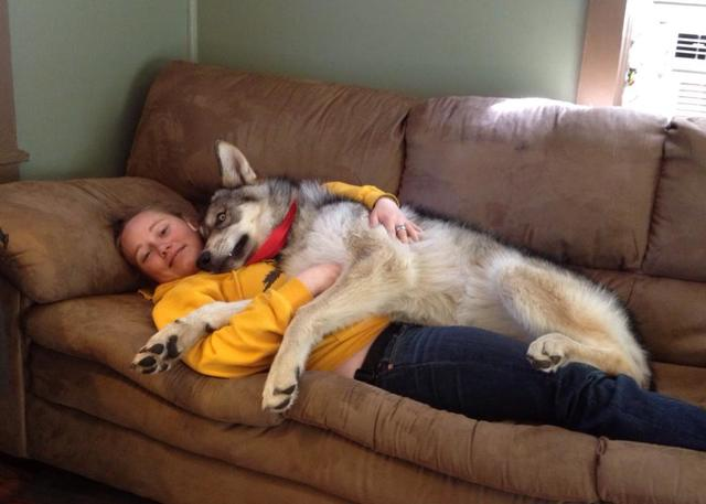 Alaskan noble companion dog 1001623_10200624562669371_2045252813_n