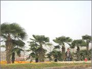 Variety Trachycarpusu fortunei IMG_7602_2