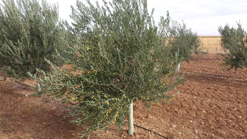 Variedad de olivos (Granada) 20151018_111614