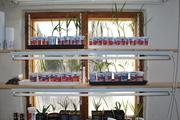 Pěstování ze semínka DSC_0047