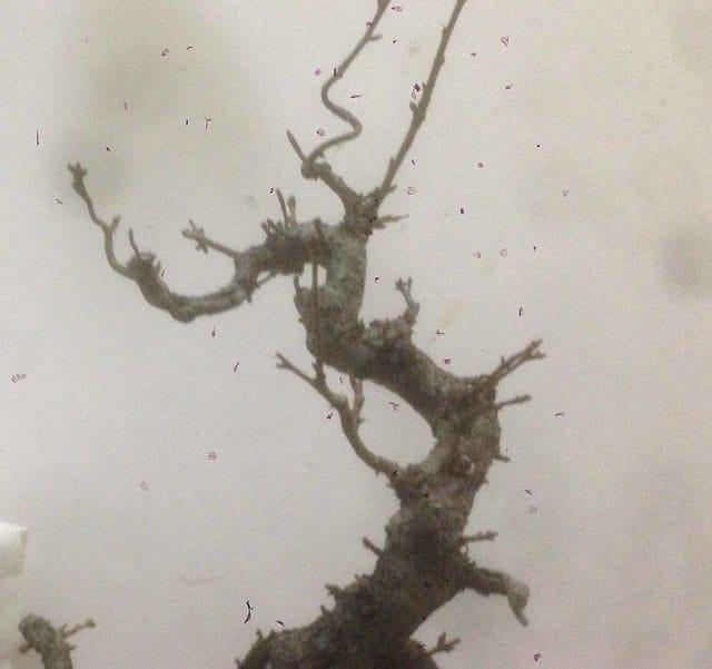 prunus mahaleb grossa talea IMG_0225