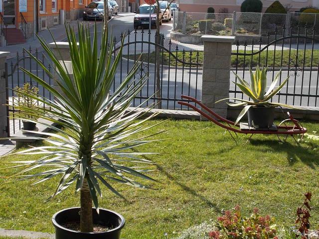 Mrazuodolné juky - rod Yucca - Stránka 5 DSCN0087