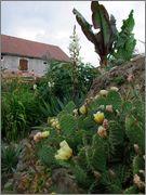 mrazuodolné opuncie - rod Opuntia - Stránka 3 DSCF1327