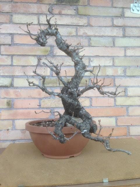 prunus mahaleb grossa talea IMG_3976