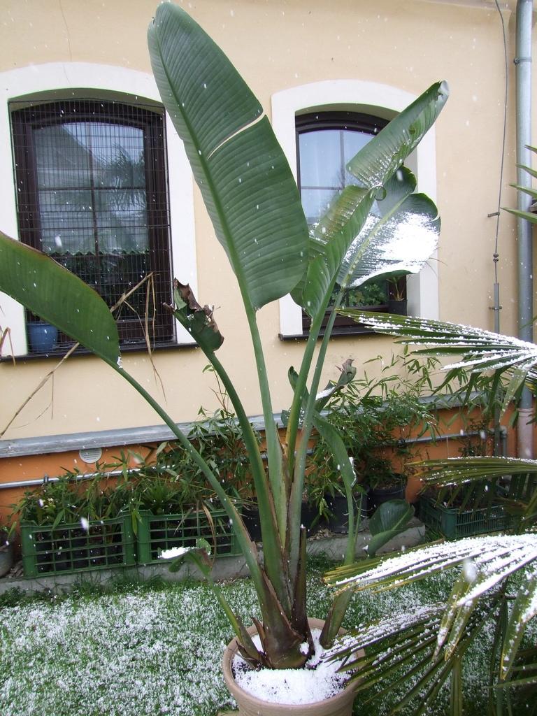 Palmy pod sněhem - Stránka 2 DSCF9333