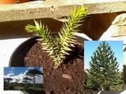 Araucaria araucana FB_IMG_1469895388209
