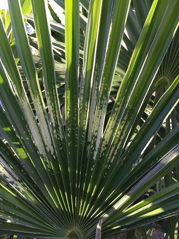 Trachycarpus fortunei, část 2 - Stránka 11 IMG_3296