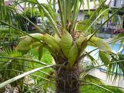 Trachycarpus fortunei, část 2 - Stránka 11 P1100290