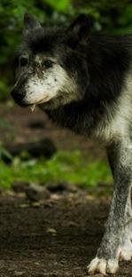 Rogue Lynx