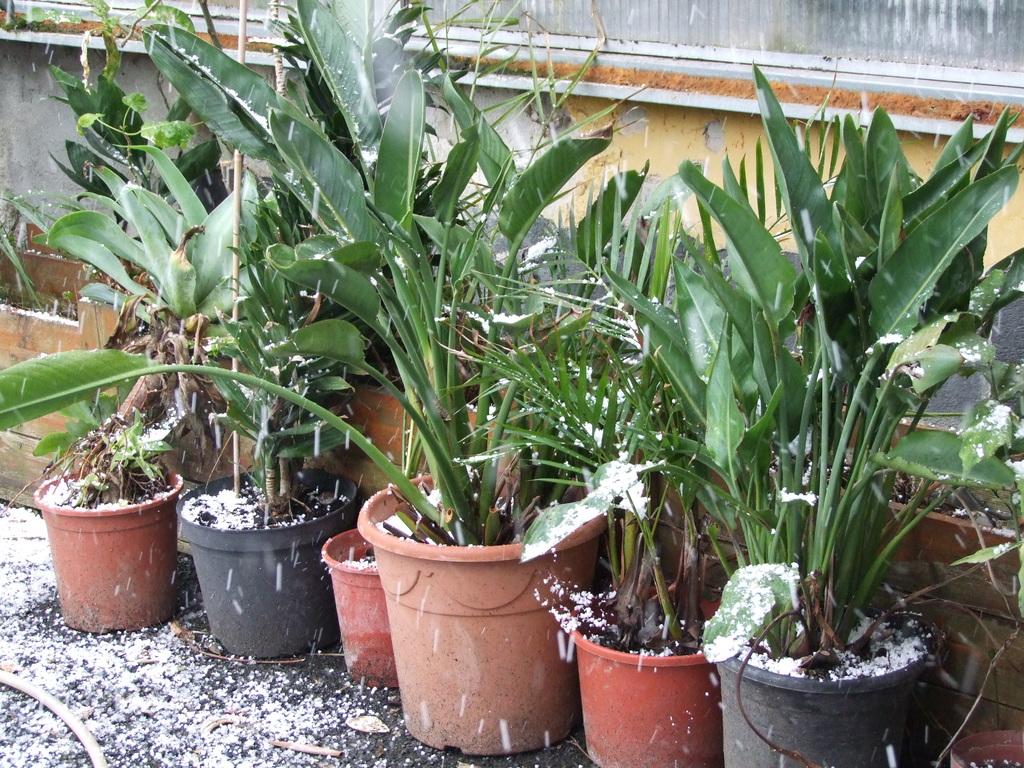 Palmy pod sněhem - Stránka 2 DSCF9325