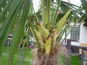 Trachycarpus fortunei, část 2 - Stránka 11 P1100295