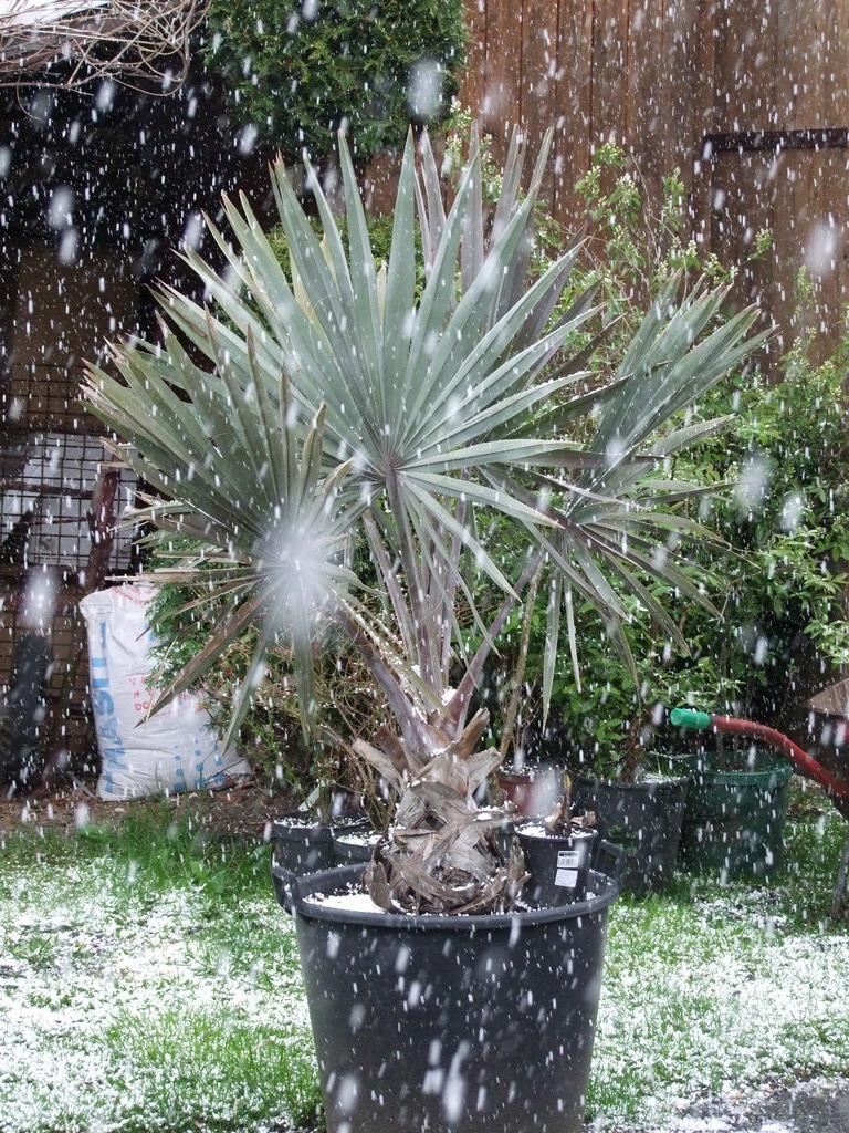 Palmy pod sněhem - Stránka 2 DSCF9326