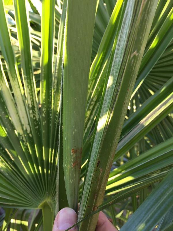 Trachycarpus fortunei, část 2 - Stránka 11 IMG_3297