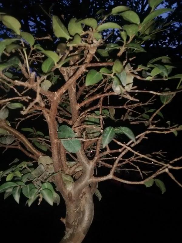 Ayuda, mi bonsái muere!!! IMG_20160420_180756079