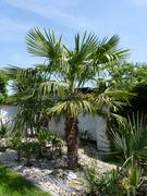 Trachycarpus fortunei, část 2 - Stránka 11 P1100307