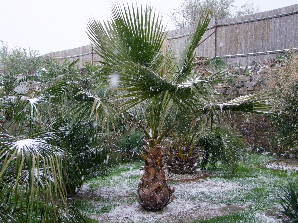 Palmy pod sněhem - Stránka 2 DSCF9328