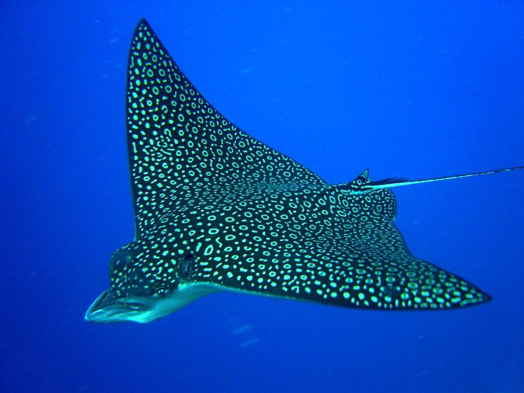 Running out of air Spotted_eagle_ray