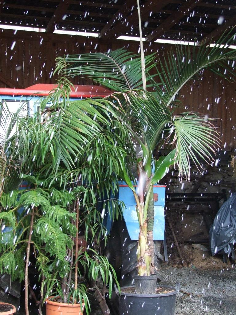 Palmy pod sněhem - Stránka 2 DSCF9334