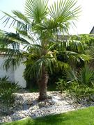 Trachycarpus fortunei, část 2 - Stránka 11 P1100308