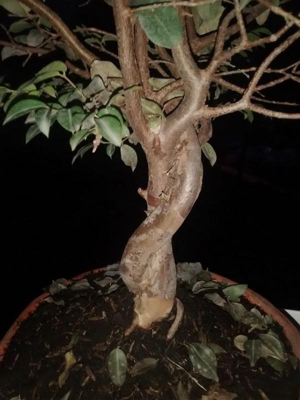 Ayuda, mi bonsái muere!!! IMG_20160420_180709169