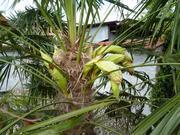 Trachycarpus fortunei, část 2 - Stránka 11 P1100289