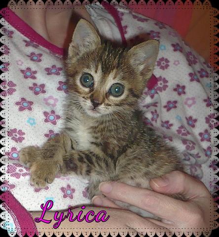 Lyrica gatita de 1,5 meses en adopción urgente-Sevilla 9tt_L3_SC