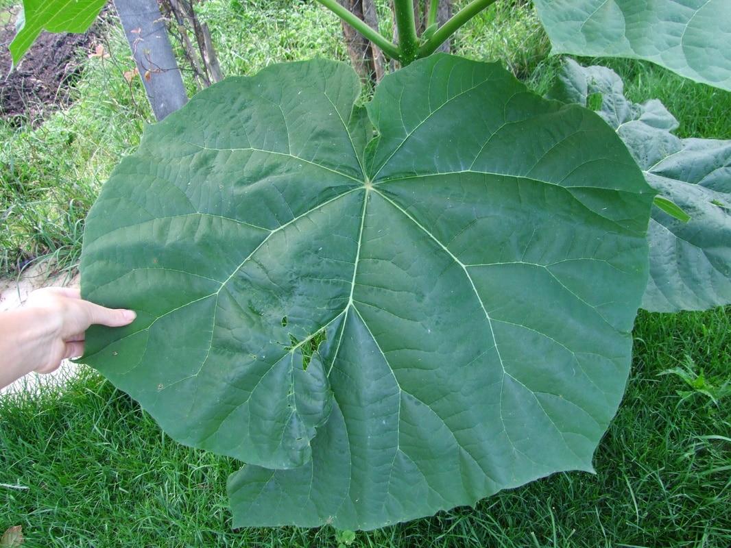 Paulownia tomentosa DSCF0012