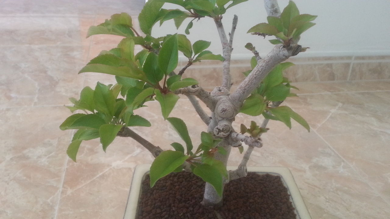 Mi primer bonsai: Malus Everest. 20160502_165740