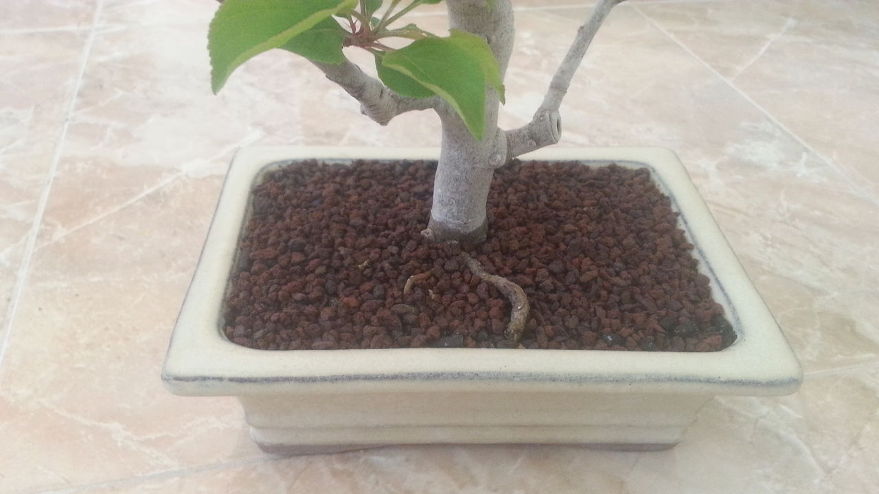 Mi primer bonsai: Malus Everest. 20160502_165710