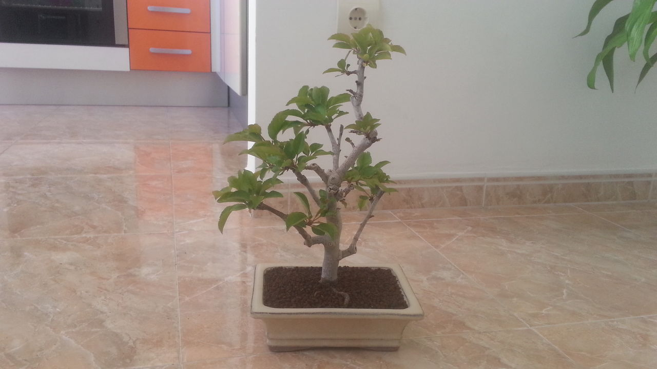 Mi primer bonsai: Malus Everest. 20160502_165646
