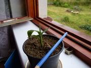 Musa thomsonii P1150658